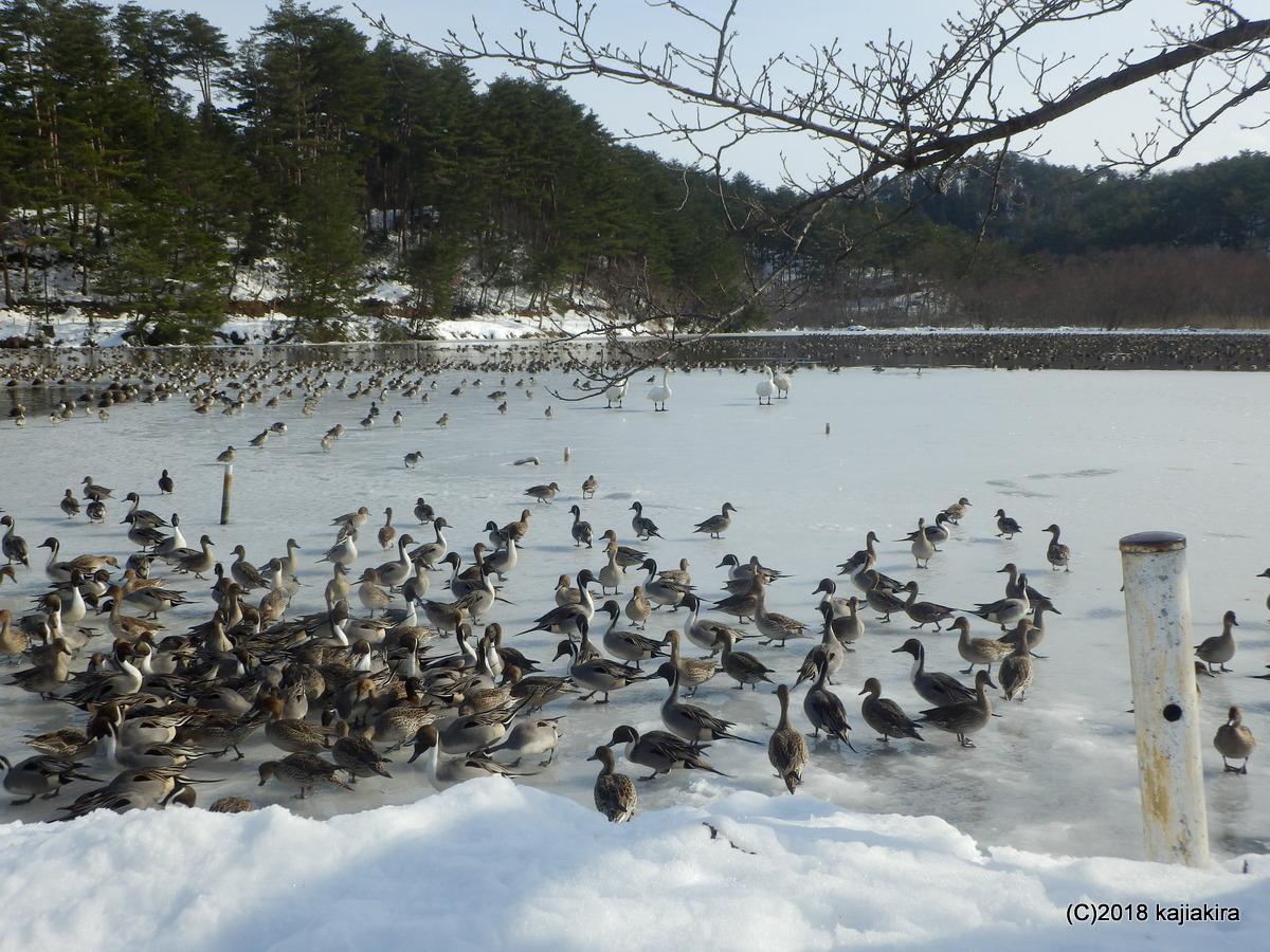 凍結した升潟の白鳥達
