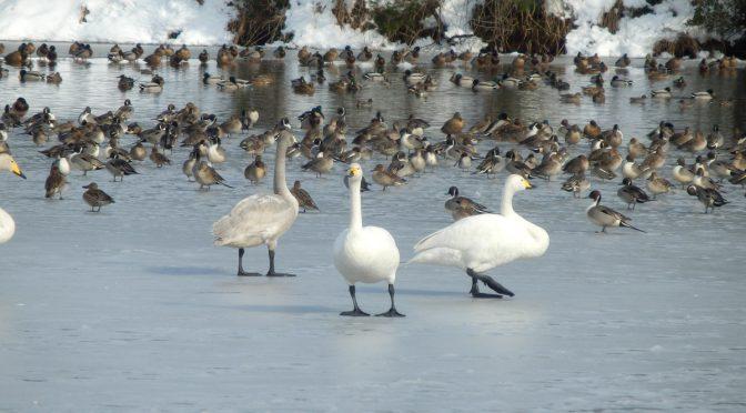凍結した升潟の白鳥達201801[新発田市(五十公野公園)]
