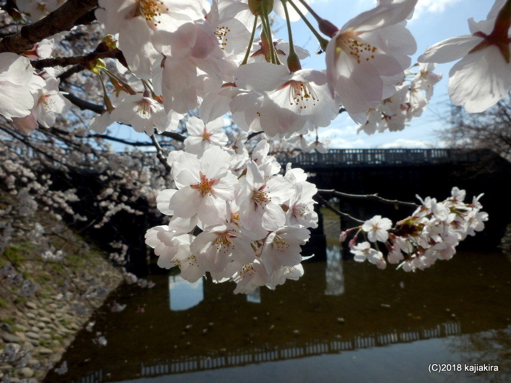 加治川治水記念公園の桜2018(新発田市真野原)
