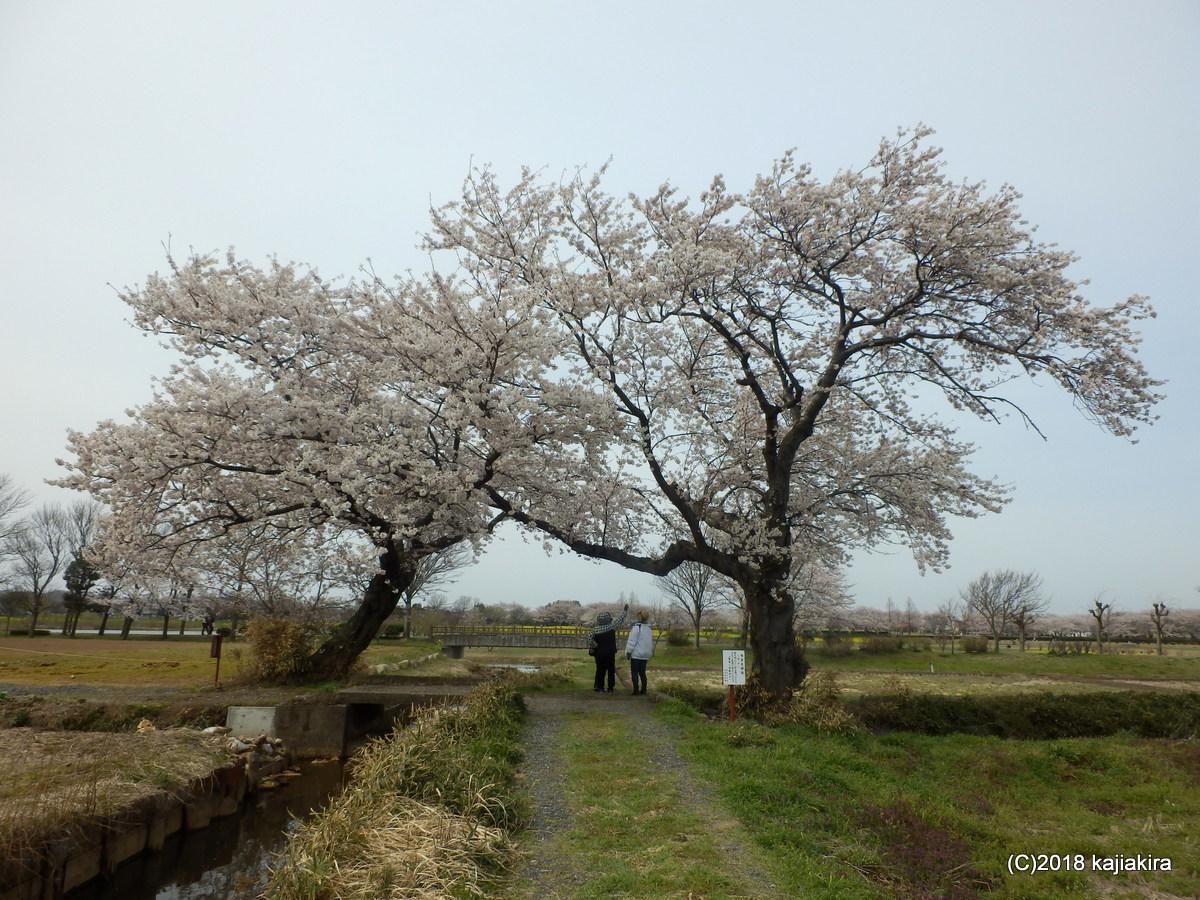 上堰潟公園と布目夫婦桜