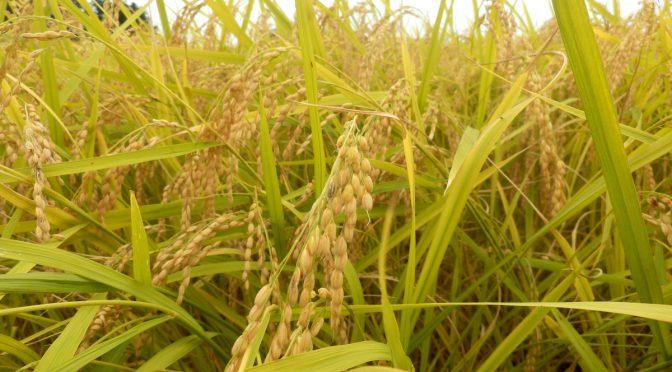 新潟も小金色に実る稲の収穫時期