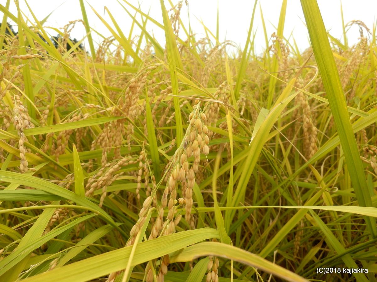 新潟も稲の収穫時期